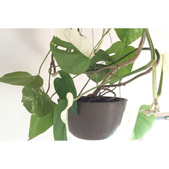 葉が特徴的な観葉植物をお風呂に吊るす