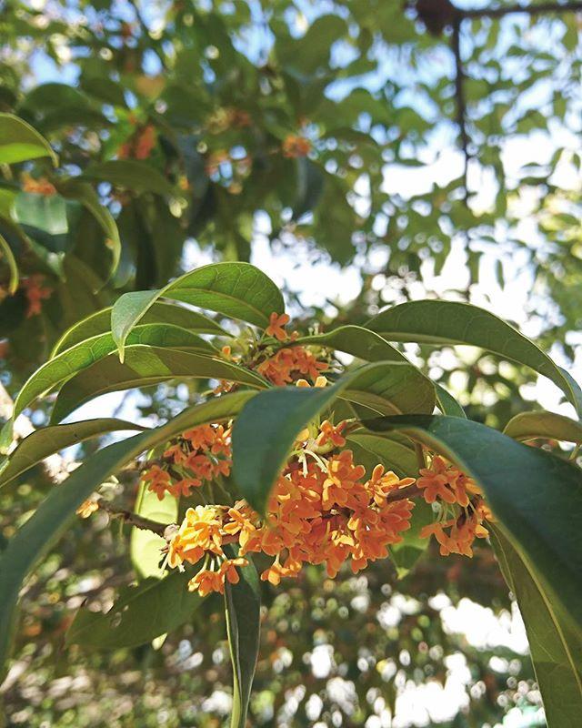 秋の花の美しい和名「金木犀」