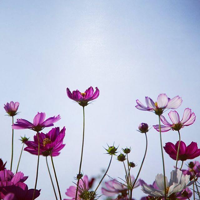 秋の花の美しい和名「秋桜」