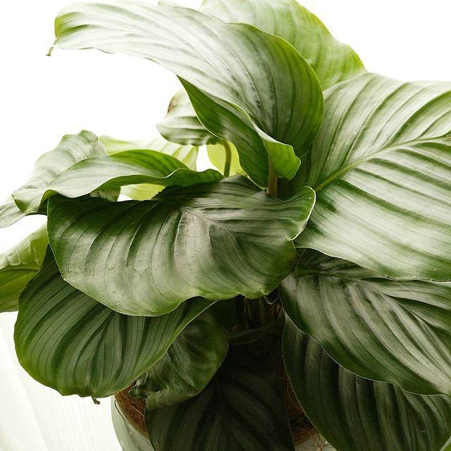 お風呂に置ける観葉植物カラテラ