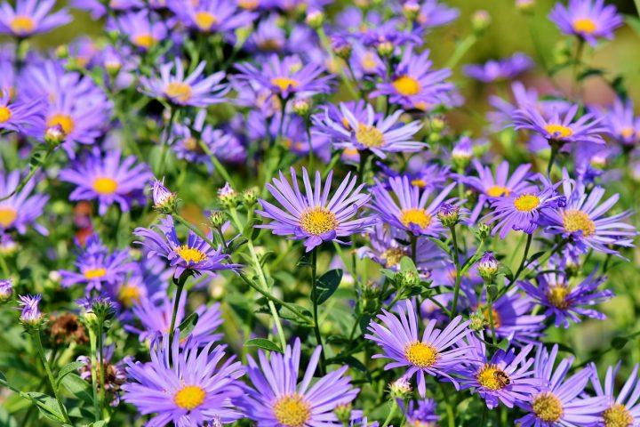勝利を意味する青系の花②アスター