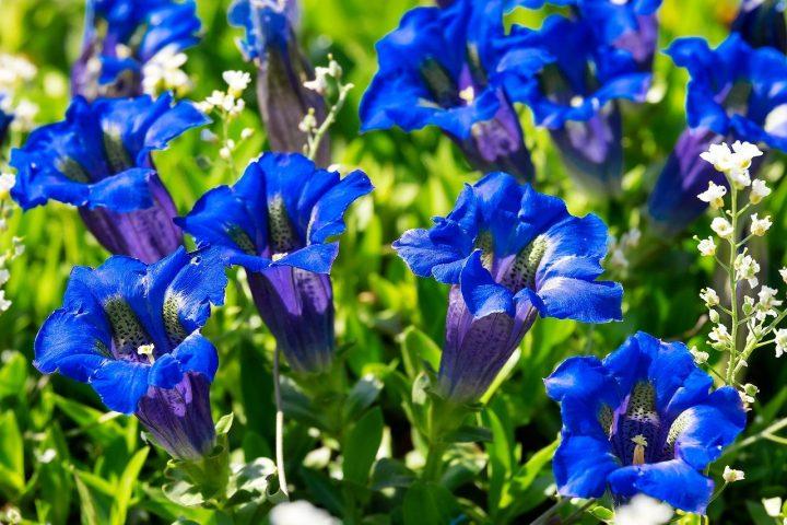 勝利を意味する青系の花④リンドウ
