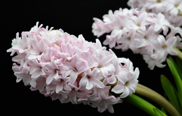 勝利を意味する白系の花②ヒヤシンス