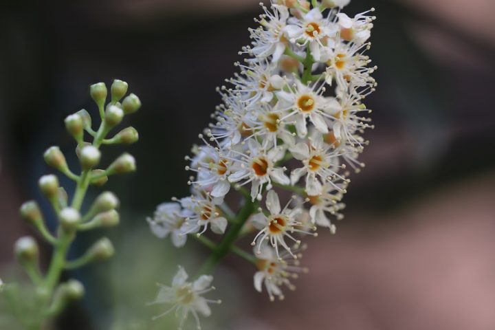 勝利を意味する白系の花④ゲッケイジュ