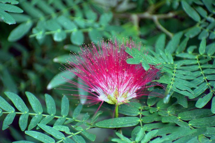 勝利を意味する赤系の花④パキラ