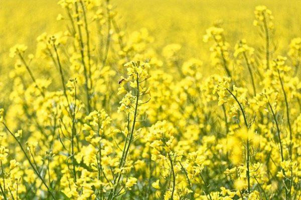 黄金色の葉が縁起を呼ぶ菜の花