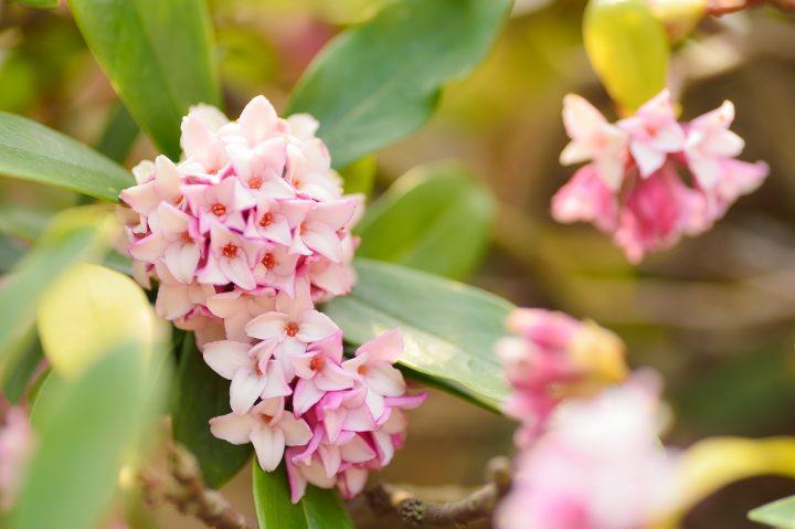 勝利を意味する白系の花③ジンチョウゲ