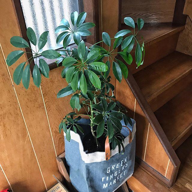 円状に広がる葉が特徴の観葉植物