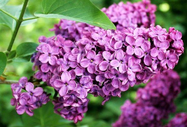 おしゃれな花が人気の植木ライラック