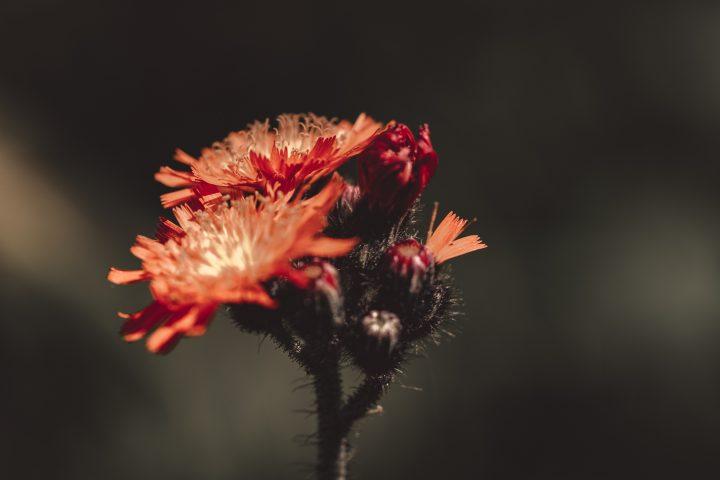 オレンジ色の花の花言葉《秋》