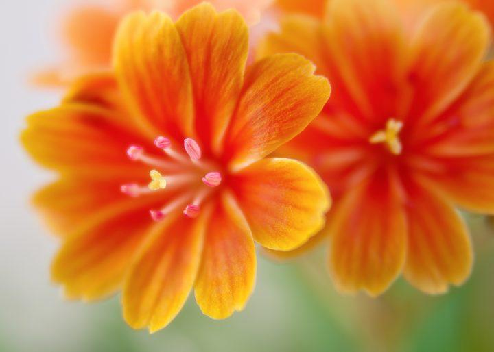 オレンジ色の花の花言葉《春》