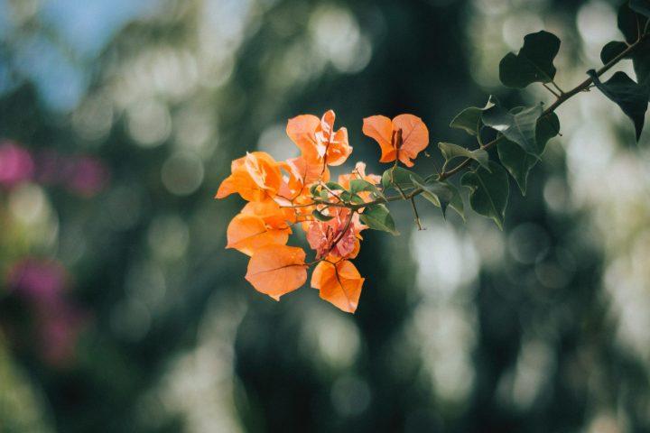オレンジ色の花の花言葉《夏》