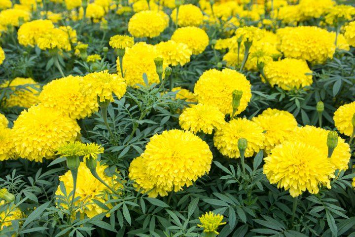 黄色いマリーゴールド