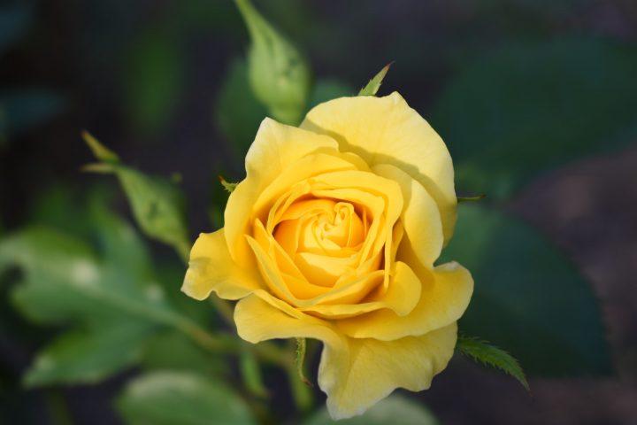 黄色いバラはネガティブなイメージ?!