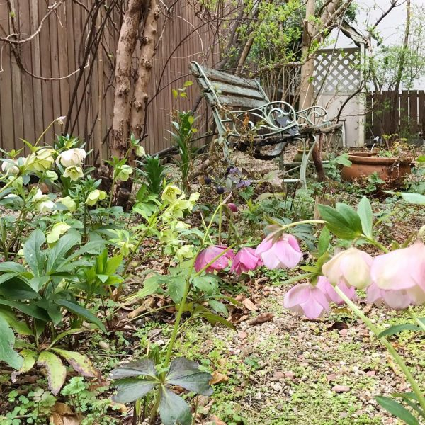 冬のおしゃれな花壇にクリスマスローズ