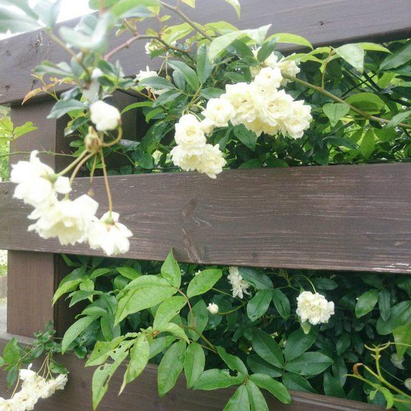ナチュラルな花壇におしゃれなモッコウバラ