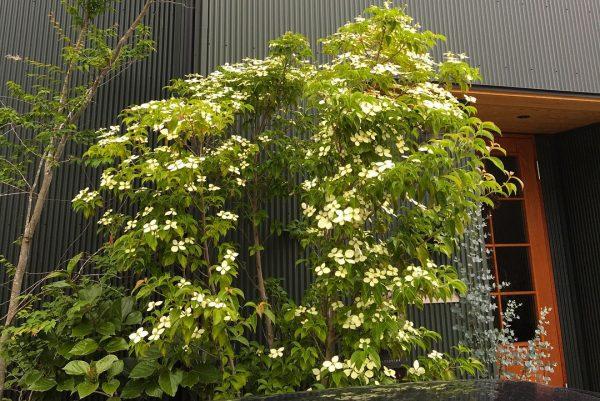 素朴な花が人気のヤマボウシ