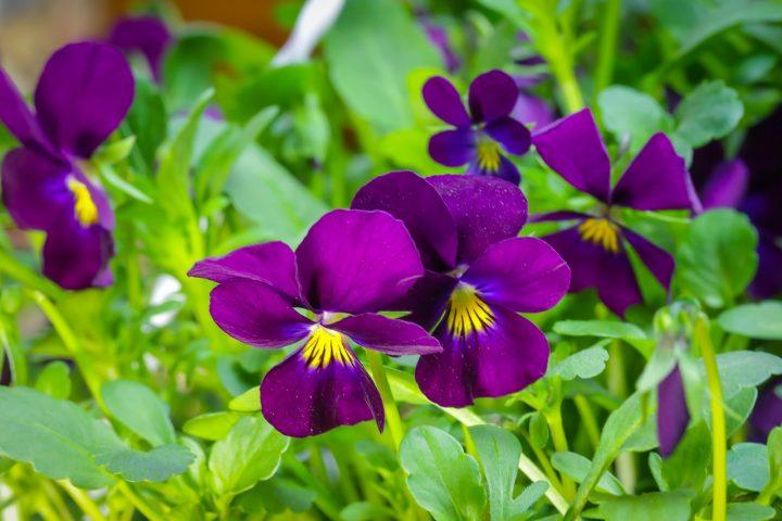 尊敬の花言葉を持つ花⑥ビオラ