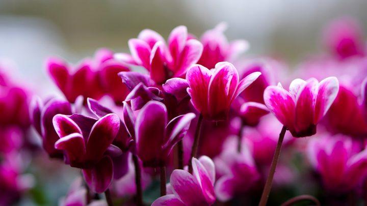尊敬の花言葉を持つ花⑦シクラメン