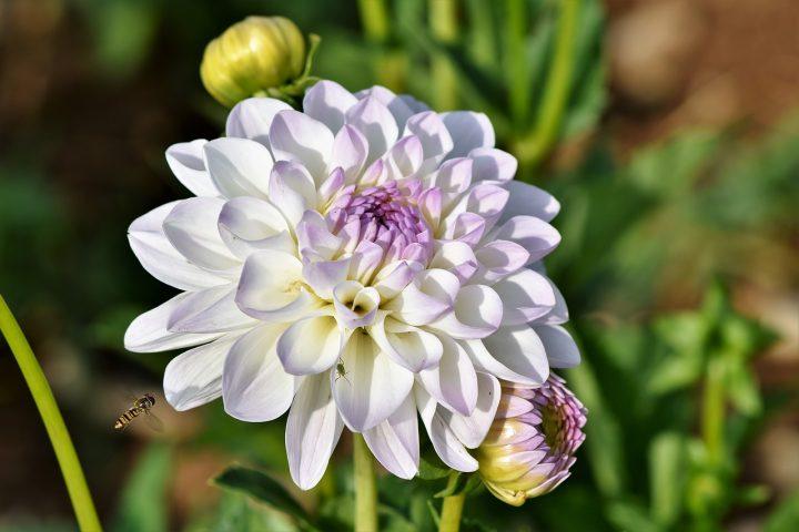 尊敬の花言葉を持つ花⑨ダリア