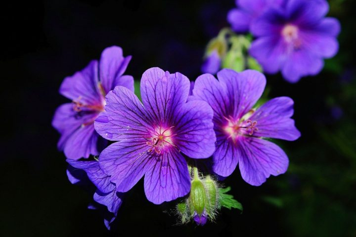 尊敬の花言葉を持つ花④ゼラニウム