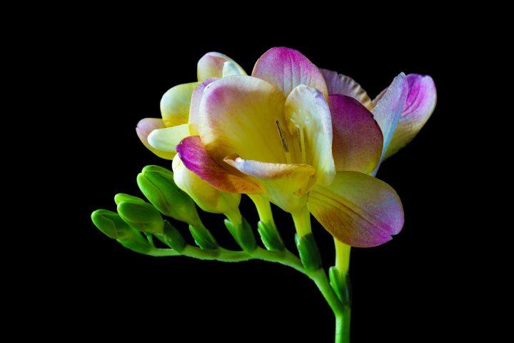 尊敬の花言葉を持つ花⑨フリージア