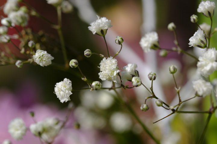 尊敬の花言葉を持つ花⑥カスミソウ