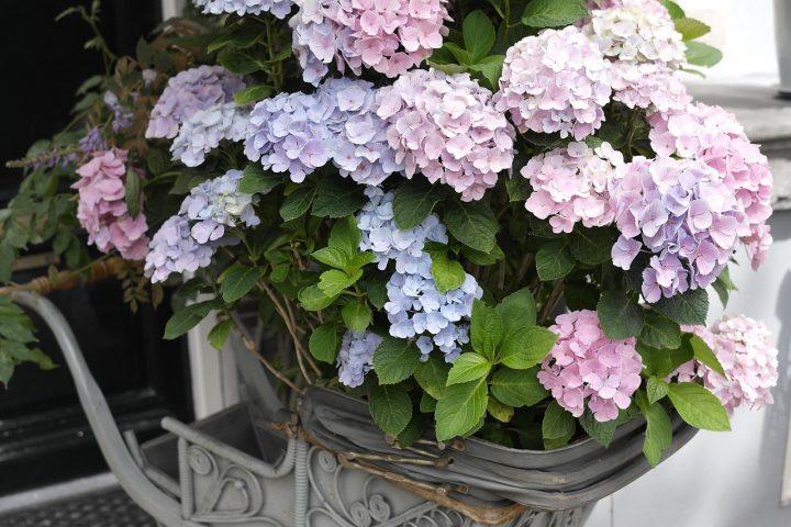 初夏を彩る人気の花♪アジサイ