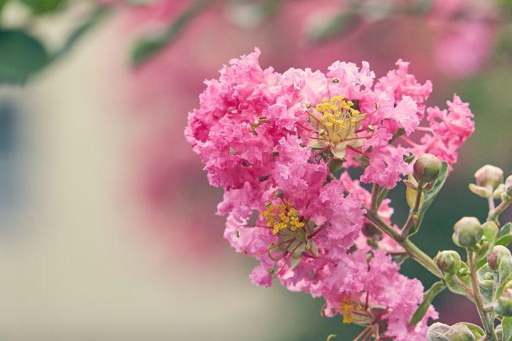 尊敬の花言葉を持つ花③サルスベリ