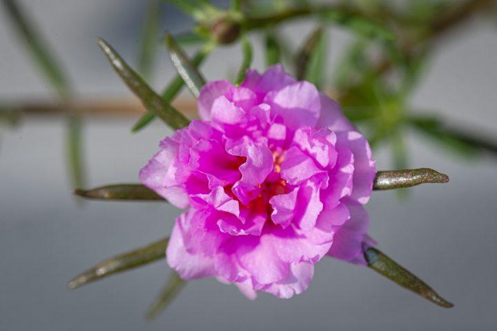 尊敬の花言葉を持つ花④コケバラ