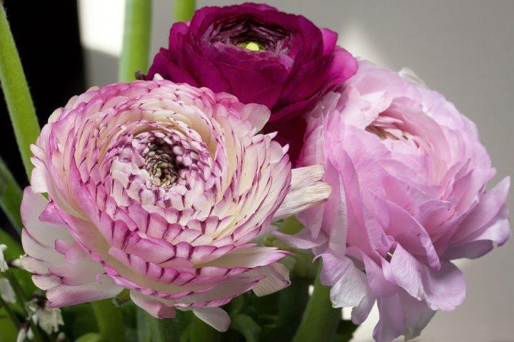 尊敬の花言葉を持つ花⑦ラナンキュラス