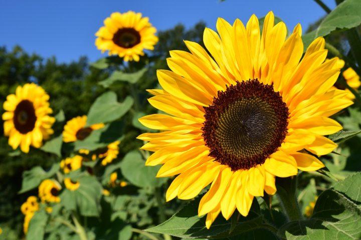 尊敬の花言葉を持つ花⑤ヒマワリ