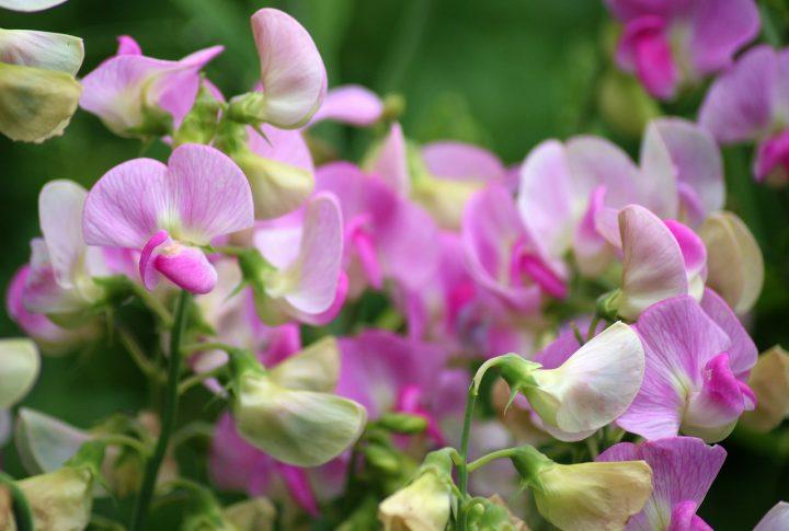 尊敬の花言葉を持つ花⑧スイトピー