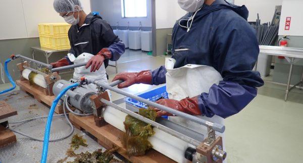 隠岐の西ノ島 ツルアラメをご紹介4