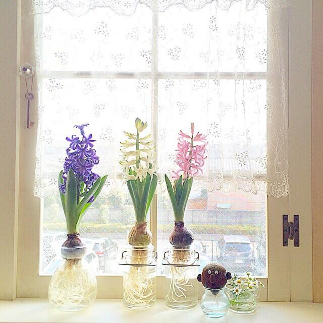 球根水栽培でリビング窓を彩るインテリア事例