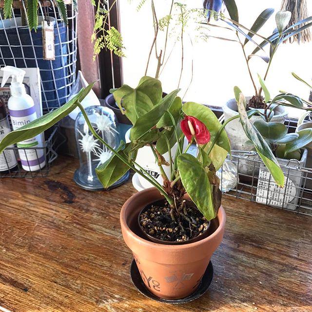 鮮やかな仏炎苞が目を引く観葉植物