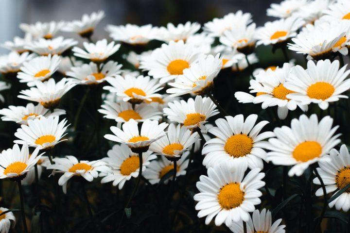 花言葉が平和を意味する花《春》