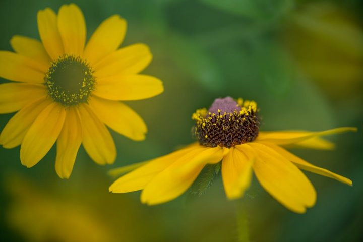 花言葉が平和を意味する花《夏》