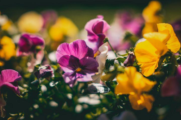 花言葉が平和を意味する花《秋》