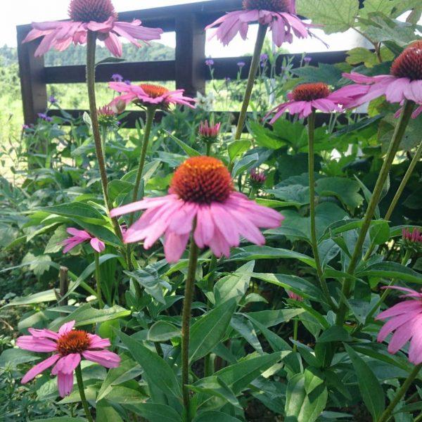 秋の花壇に人気の宿根草エキナセア