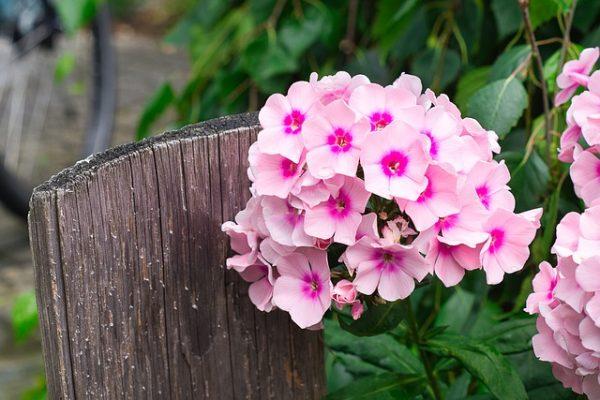秋の花壇を華やかに彩る宿根フロックス