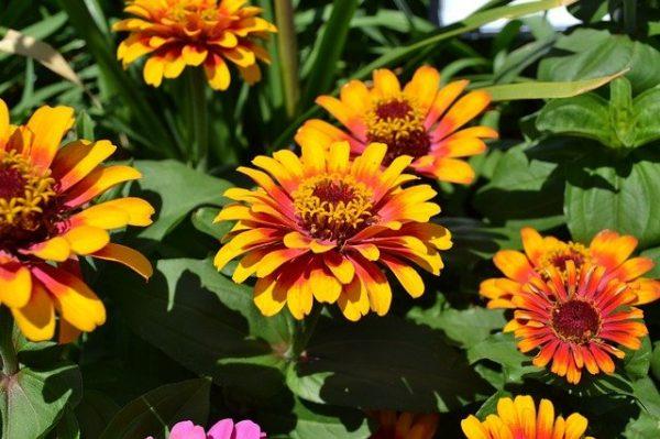 夏から秋の花壇におすすめのジニア